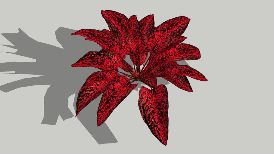 aglaonema merah