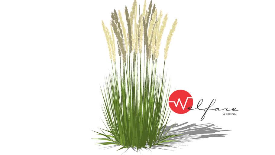 Calamagrostis reed grass