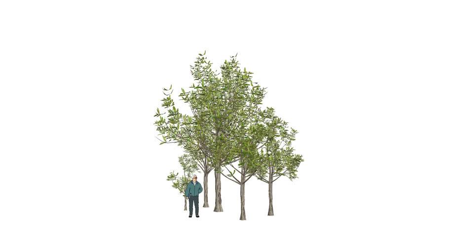 tree 3D ต้นตีนเป็ดน้ำ