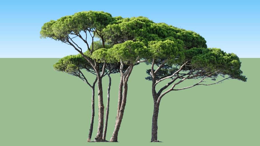 Pinus group