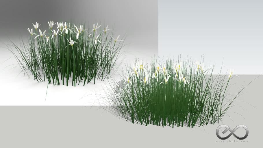 "Zephyranthes Candida ""Rain Lily"""