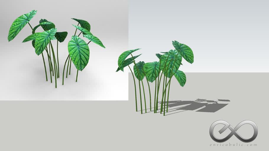 """Alocasia Clypeolata """"Green Shield Alocasia"""""""