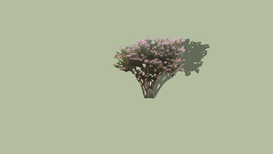 2D Pink Crepe Myrtle