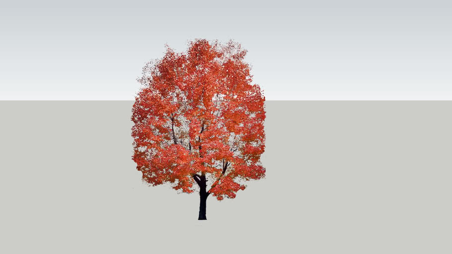 Fall Maple 1
