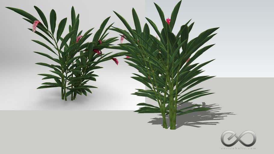 """Alpinia Purpurata """"Red Ginger"""""""