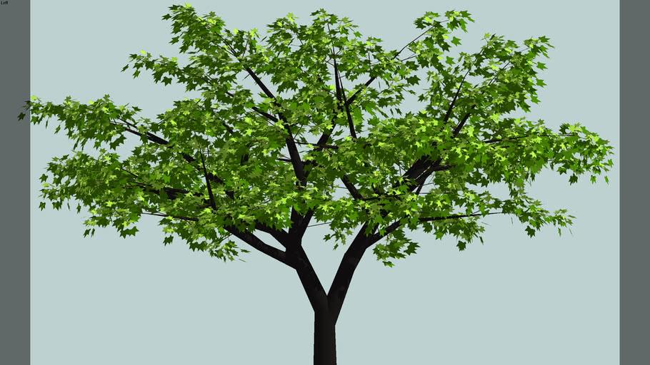 small maple tree summer