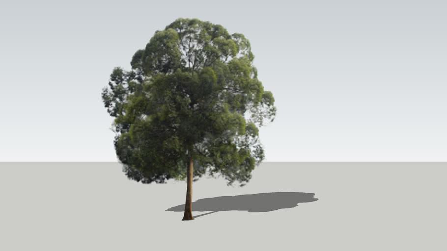 borneo camphor tree