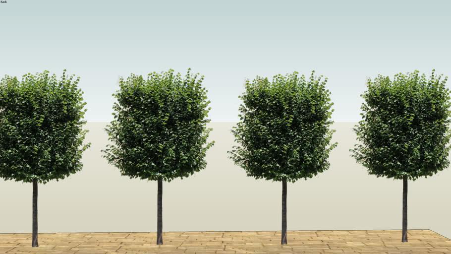 Tree, Leilindes, lime trees 2D