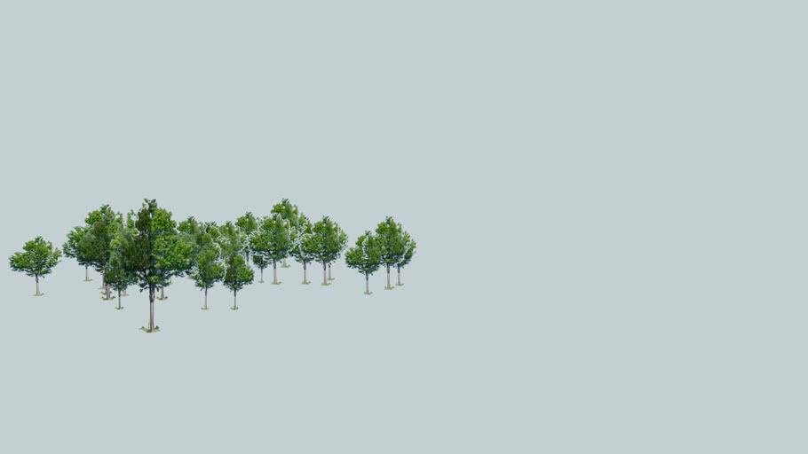 Copaci in Mamaia