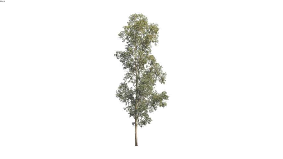 Corymbia maculata - 25m 2D Tree
