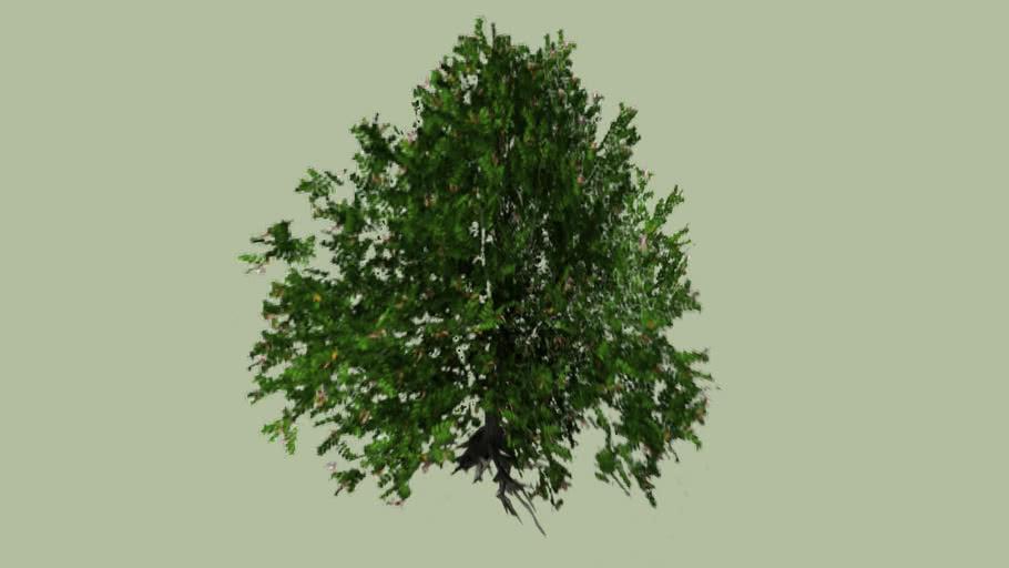 Grey Mangrove (Avicennia marina)_2