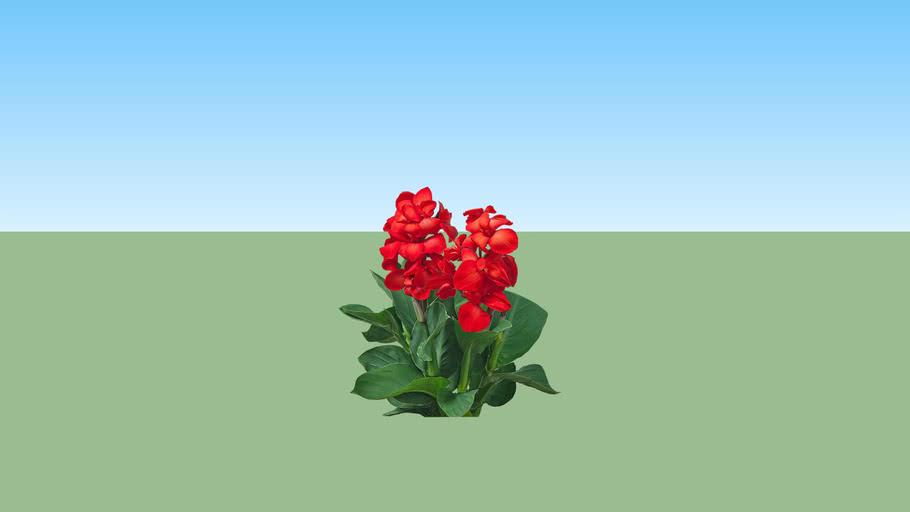 Bunga Tasbih - Canna Lily