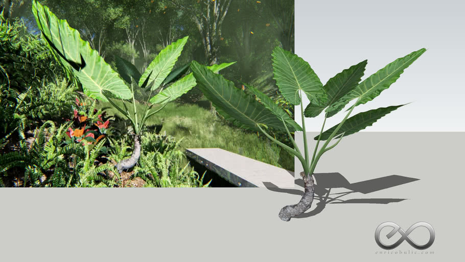 """Alocasia Macrorrhiza """"Giant Elephant Ears"""""""