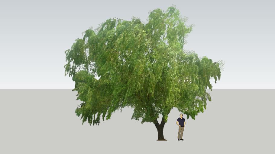 Willow Tree / Pohon Liang Liu