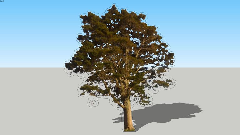Totara Tree - Mature