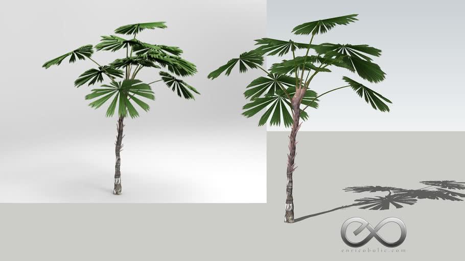 """Licuala Ramasyi """"Daintree Fan Palm"""""""