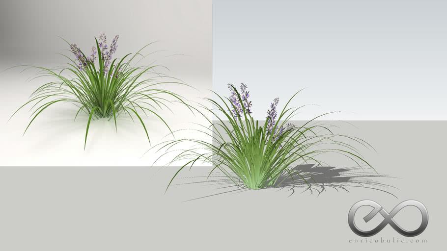 "Dianella Caerulea ""Blue Flax Lily"""