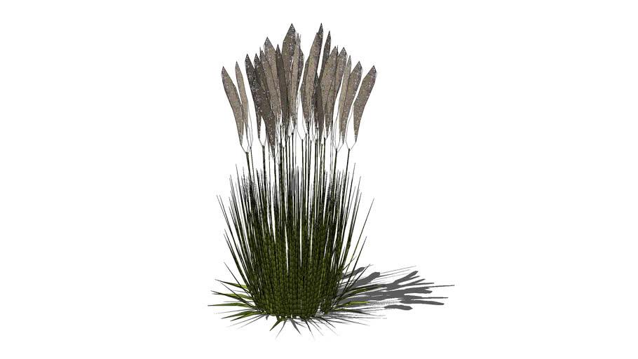 Calamagrostis brachytricha trzcinnik krótkowłosy
