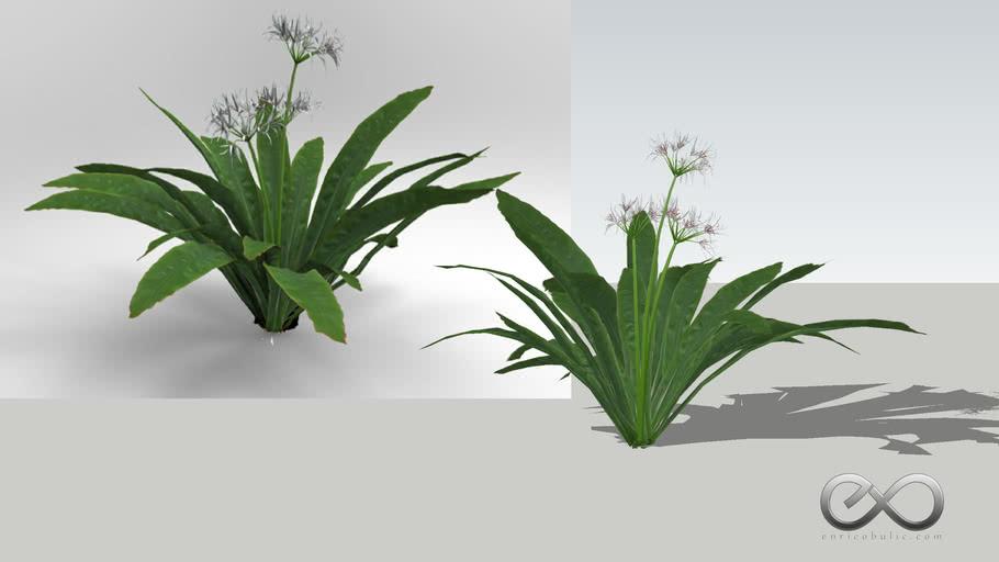 """Crinum Pedunculatum """"Swamp Lily"""""""
