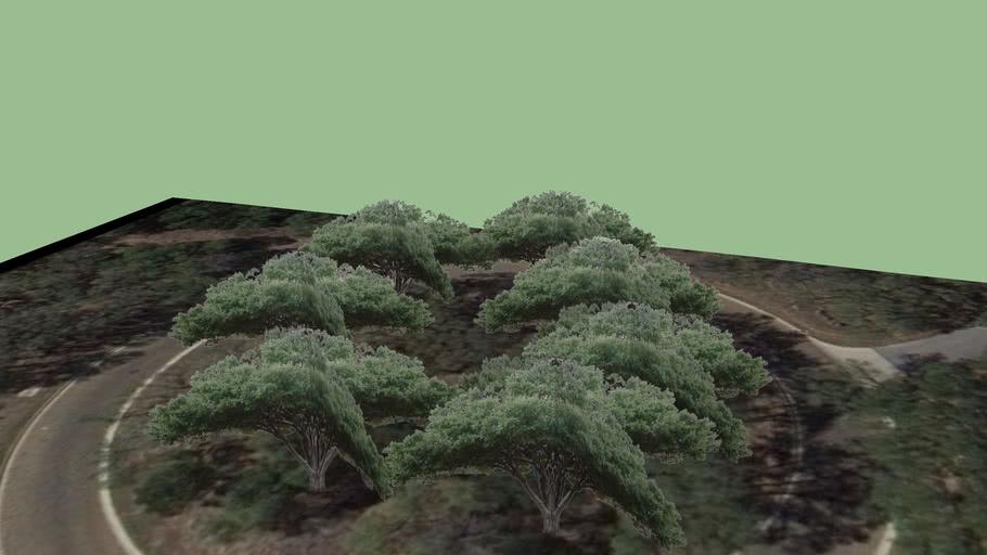 Oak Trees at the Spanish Oaks Enterance Roundabout