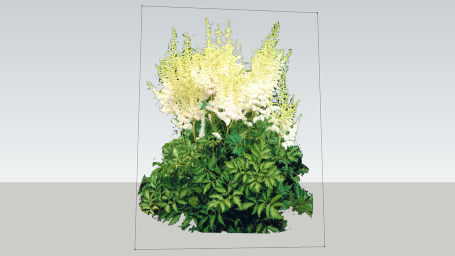 Milk and Honey Astilbe