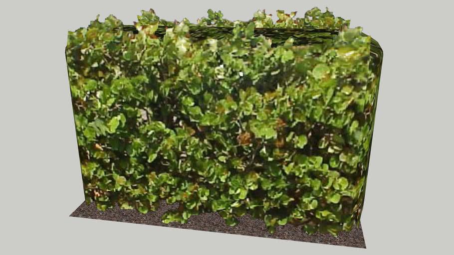 Sea-grape Hedge 6' 4
