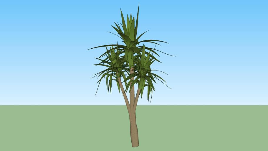 Dracena Arborea
