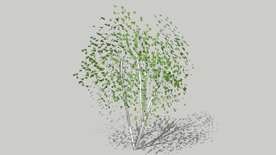 Birch multi stems