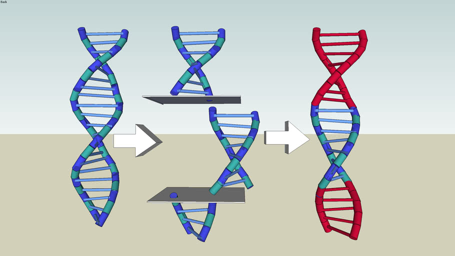 DNA gene splicing (CL) | 3D Warehouse