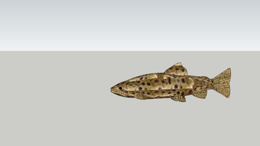 3D River trout (pastrav indigen)
