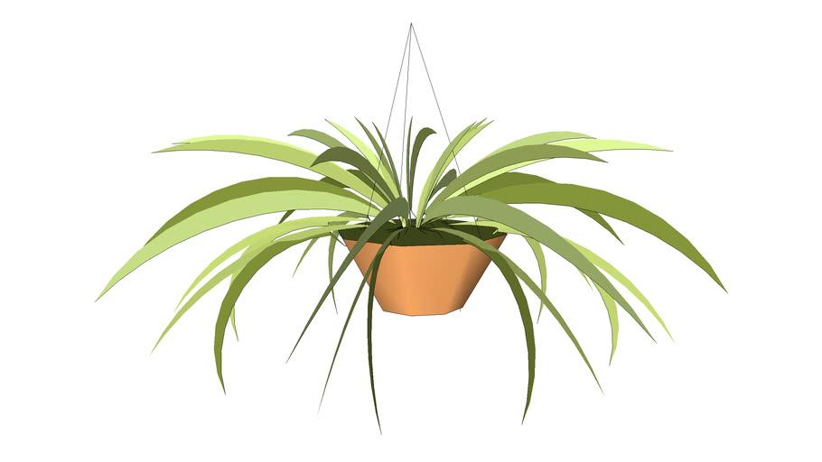 Spider hanging basket plant