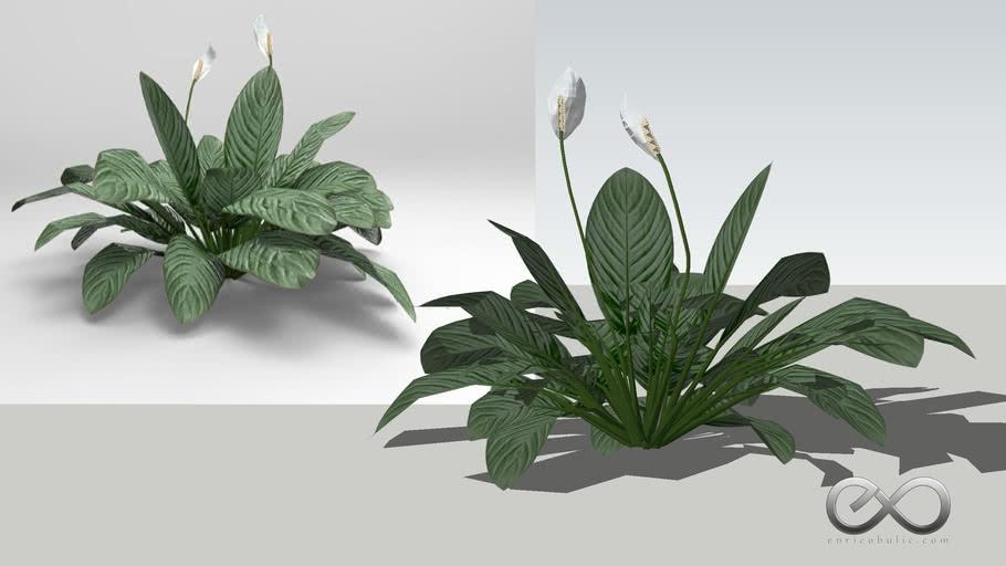"Spathiphyllum Wallis ""Peace Lily"""
