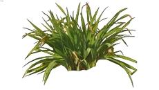 Grassy shrub