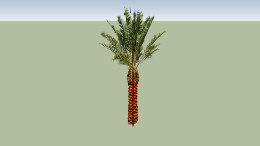 Phoenix Medjool Date Palm