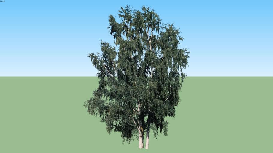 Betula papirifera