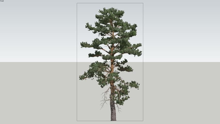 Tree-PInus Americano