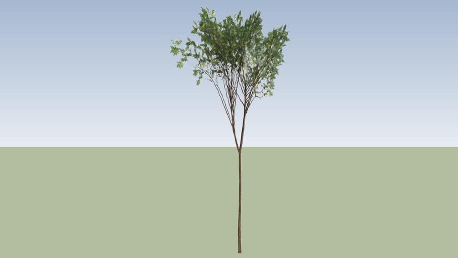 Brigalow (Acacia harpophylla)_1