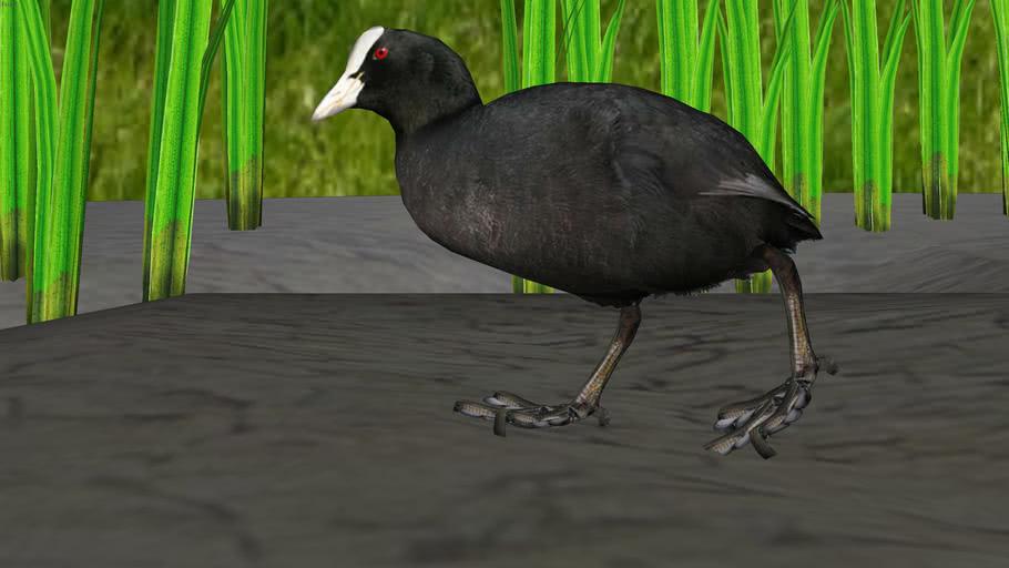 Bird ─ Coot - fulica atra (lat.) ─ Water bird