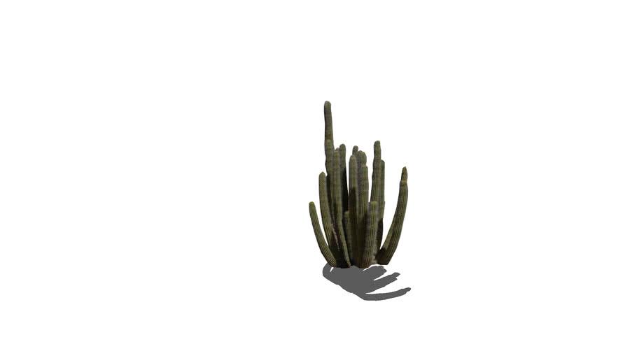 2D Organpipe Cactus (Shadow)