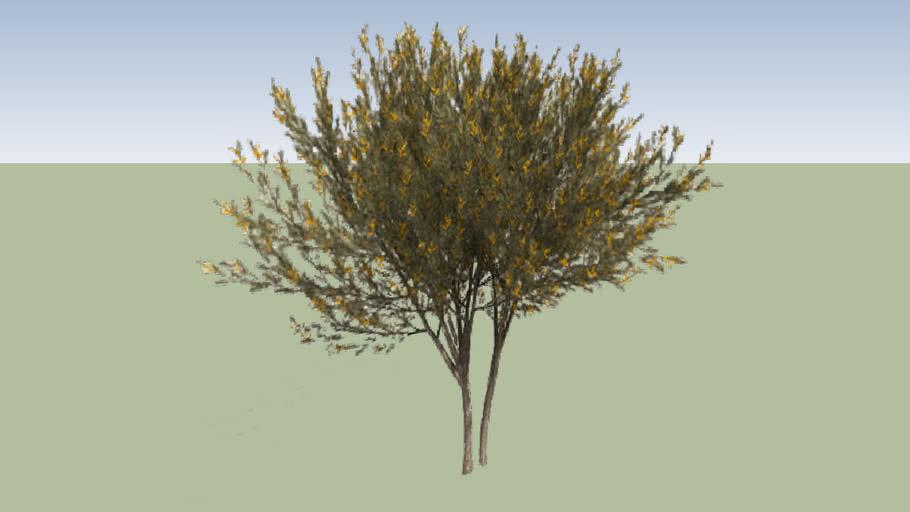 True Mulga (Acacia aneura)_2