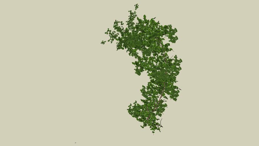 Plant_Bougainvillaea_2