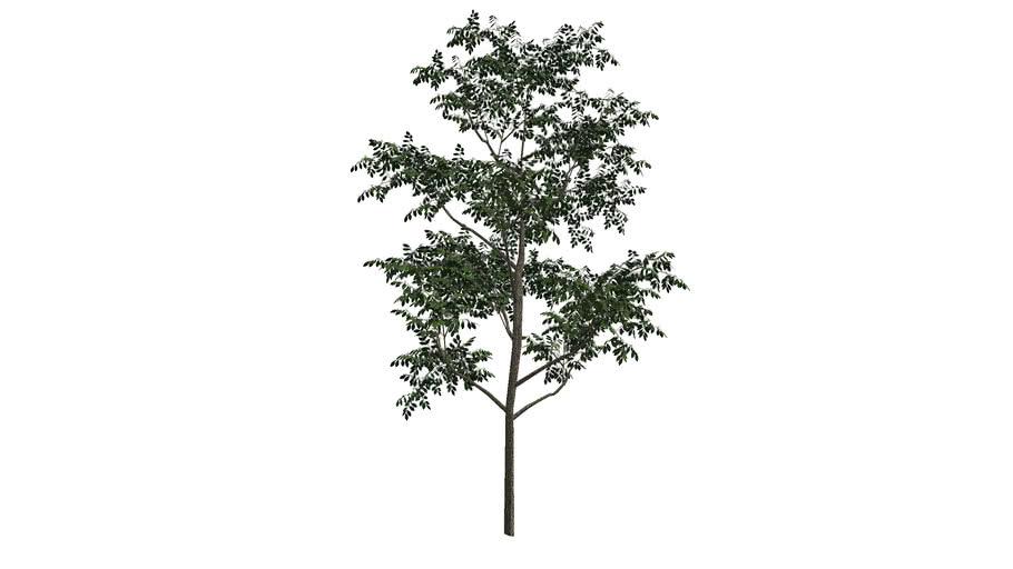 BROADLEAF TREE 4
