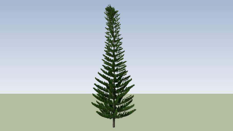 Norfolk Island Pine_1