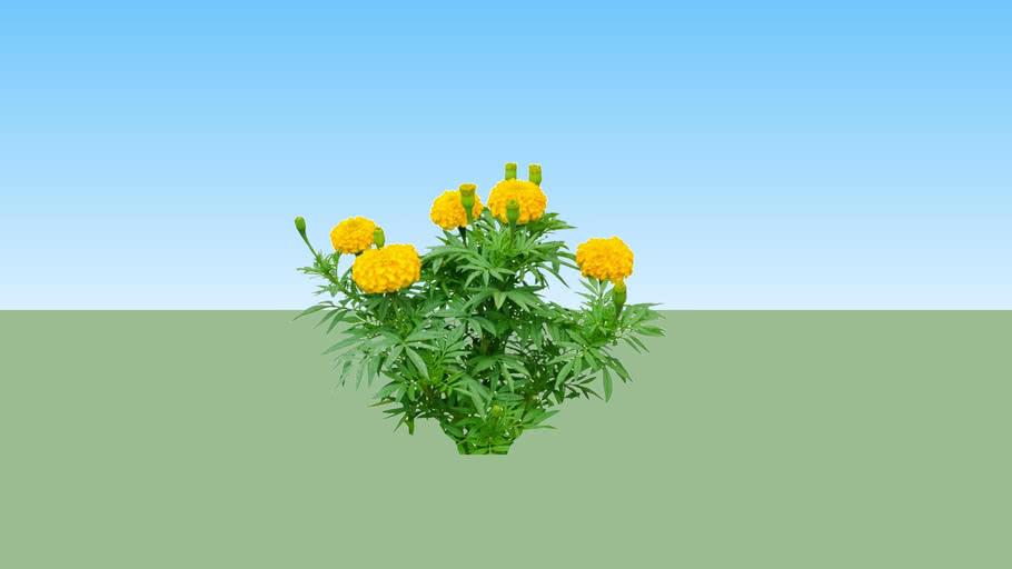 Marigold - Bunga Tahi Ayam - Gemitir