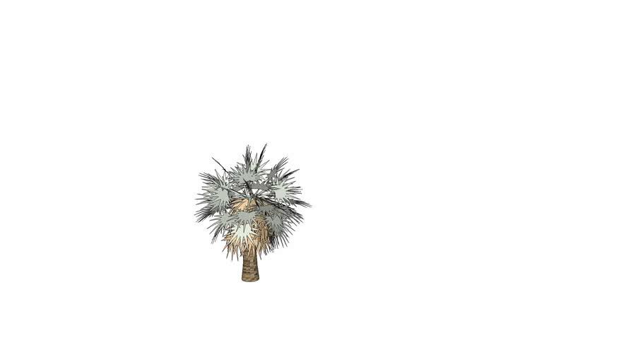 Silver Bismark Palm