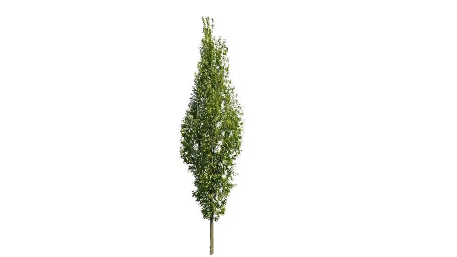 3rd Angle Trees 11