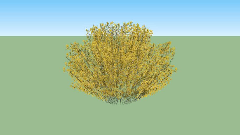 Forsythia Shrub - Oleaceae