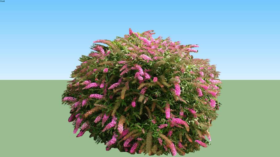 Buddleia spp.