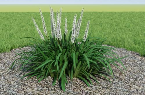Liriope Grass Variation 2D_05 | 3D Warehouse