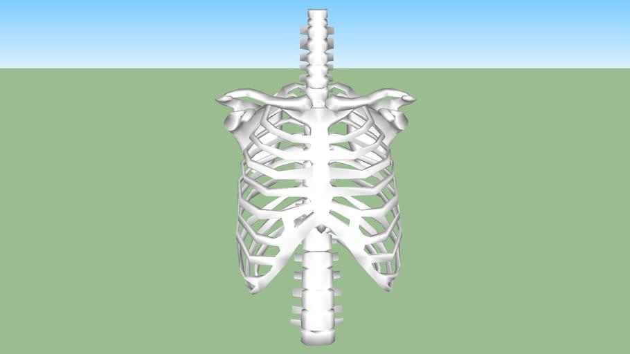 tórax, vertebras, costillas, escapilas y claviculas